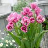 Тюльпан Мультифлора Fringed Family