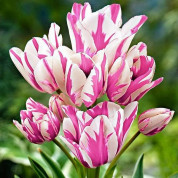 Тюльпаны Мультифлора (многоцветковые)