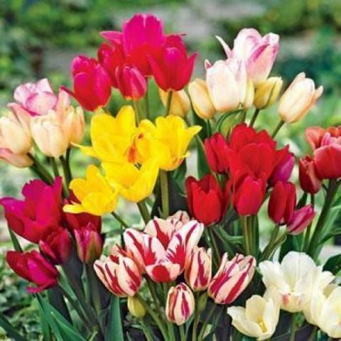 Тюльпан Мультифлора смесь