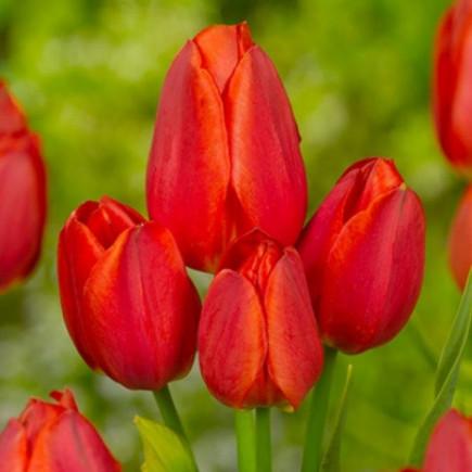 Тюльпан Мультифлора Orange Bouquet