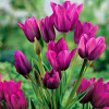 Тюльпан Мультіфлора Purple Bouquet