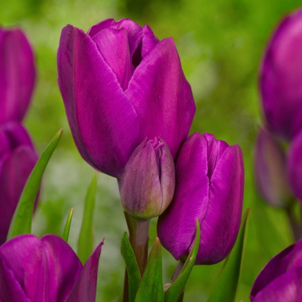 Тюльпан Мультифлора Purple Bouquet