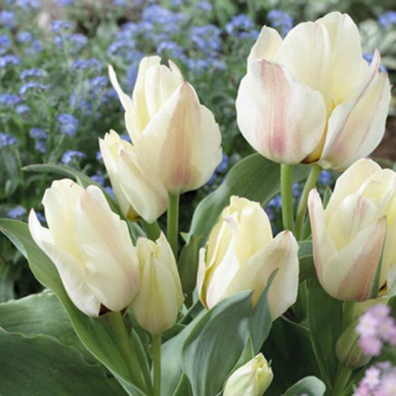 Тюльпан Мультіфлора Rosy Bouquet