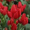 Тюльпан Мультіфлора Silhouette Bouquet