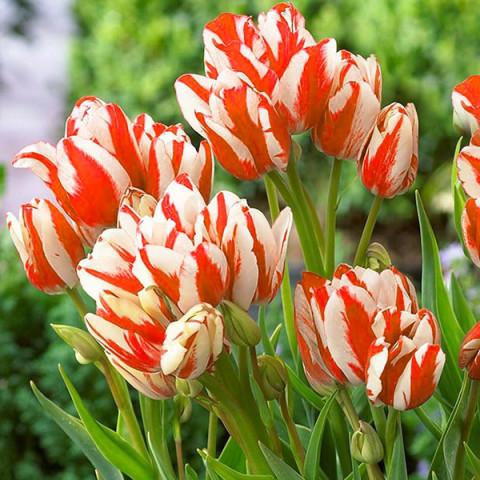 Тюльпан Грейга Sylvia Warder