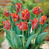 Тюльпан Попугайный Blumex Favoriet