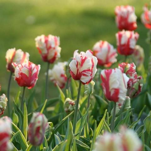 Тюльпан Попугайный Estella Rijnveld
