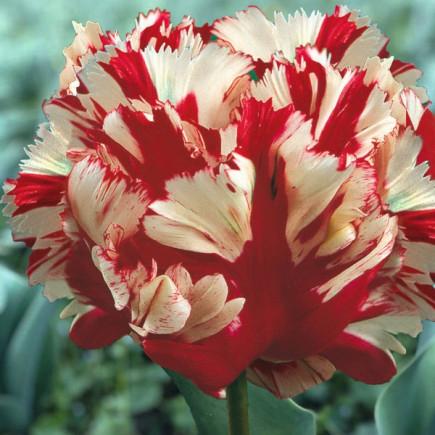 Тюльпан Папуговий Estella Rijnveld