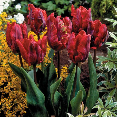 Тюльпан Попугайный Rococo