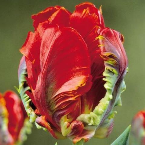 Тюльпан Папуговий Rococo