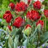 Тюльпан Папуговий Rococo Double