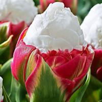 Тюльпан махровый Ice Cream