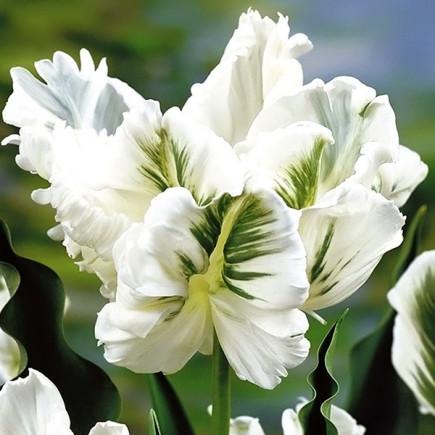 Тюльпан Папуговий White Rebel