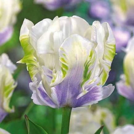 Тюльпан Попугайный White Lizard