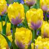 Тюльпан попугайный Yellow Lizard