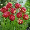 Тюльпан Махровый Renown Unique