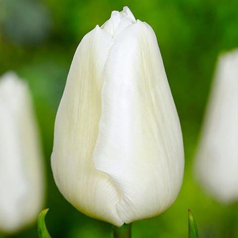 Тюльпан Триумф  Agrass White