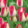 Тюльпан Триумф Alectric