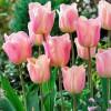 Тюльпан Триумф Apricot Beauty