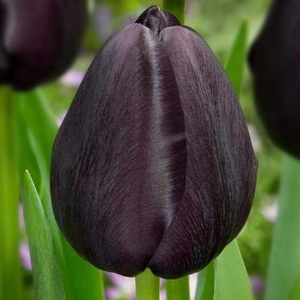 Тюльпан Триумф Black Bean