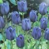 Тюльпан Триумф Blue Aimable
