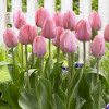 Тюльпан Тріумф Early Glory