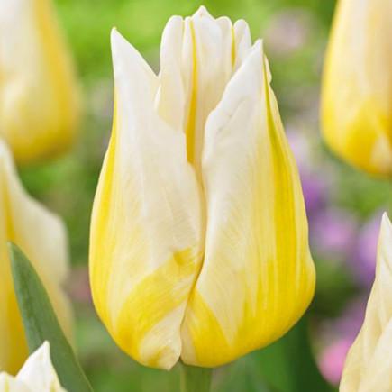 Тюльпан Триумф Flaming Agrass