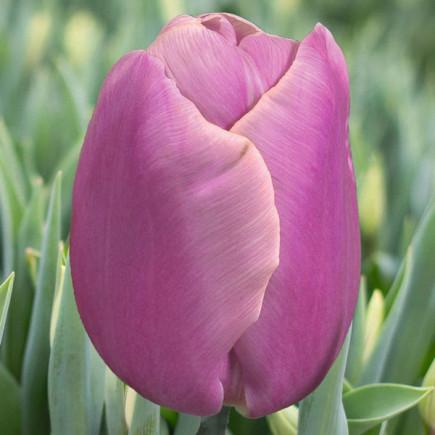 Тюльпан Триумф Holland Beauty