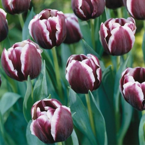 Тюльпан Триумф Jack Pot
