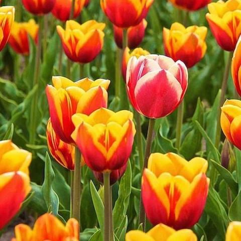 Тюльпан Триумф Kees Nellis