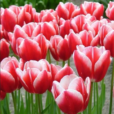 Тюльпан Триумф Leen van der Mark