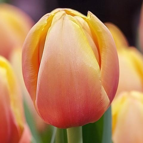 Тюльпан гибрид Дарвина Marit