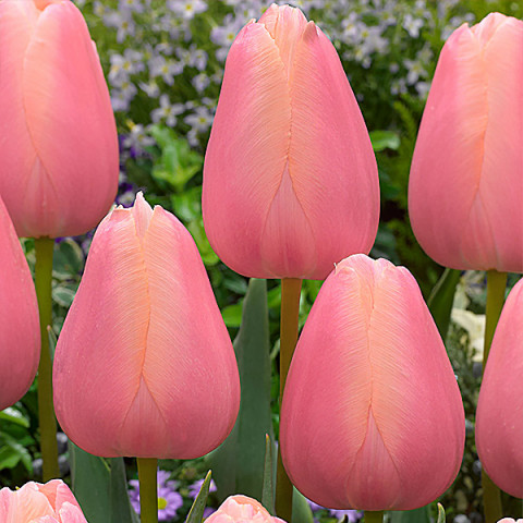 Тюльпан Триумф Menton