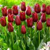 Тюльпан Тріумф National Velvet