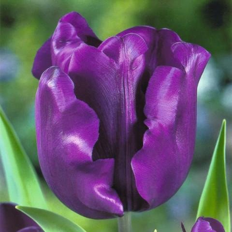 Тюльпан Триумф Negrita