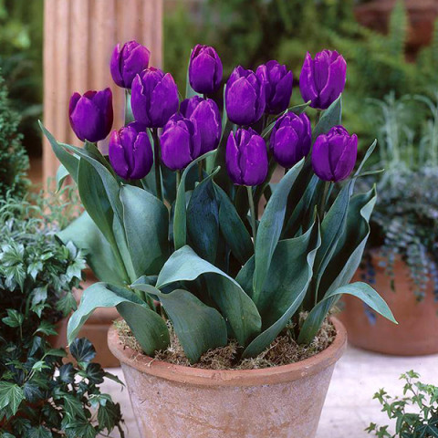 Тюльпан триумф Purple Rain