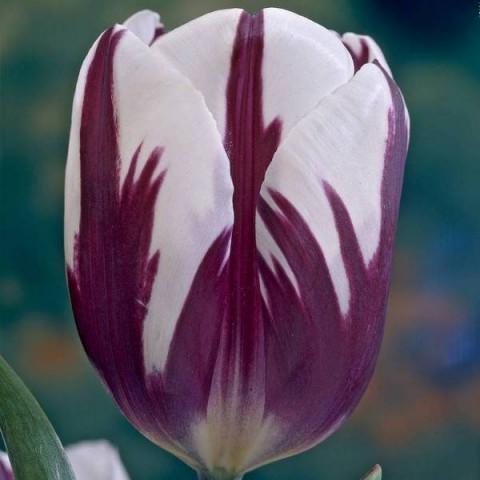 Тюльпан Триумф Rem's Favourite