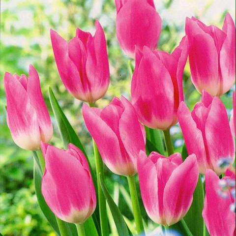 Тюльпан Триумф Royal Ten
