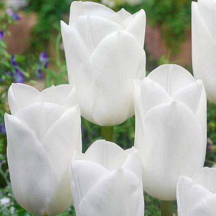 Тюльпан Триумф Royal Virgin