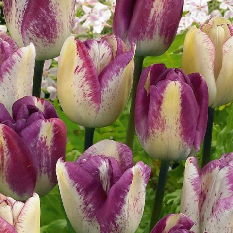 Тюльпан Триумф Shirley Dream