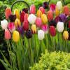 Тюльпан Триумф смесь 3 лук