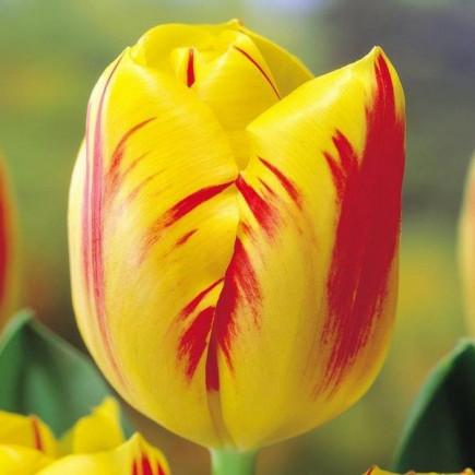 Тюльпан Триумф Washington