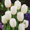 Тюльпан Триумф White Dream