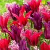 Тюльпан Вірідіфлора Purple Doll