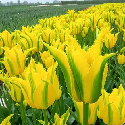 Тюльпан Вірідіфлора Extreme Yellow