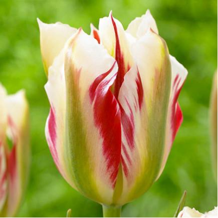 Тюльпан Вірідіфлора Flaming Springgreen