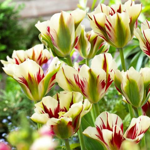Тюльпан Виридифлора Flaming Springgreen