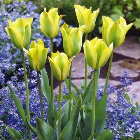Тюльпан Виридифлора Formosa