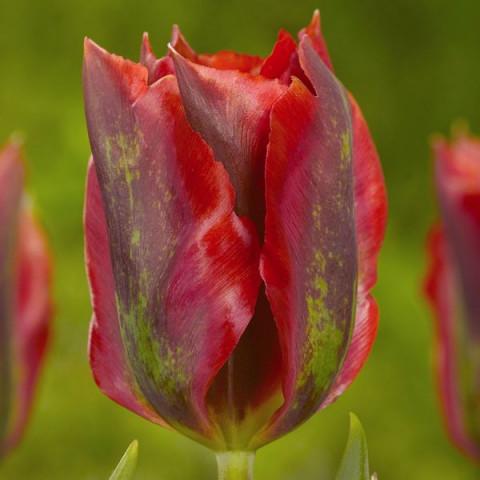 Тюльпани Вірідіфлора Hollywood