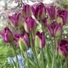 Тюльпан Вірідіфлора Violet Bird